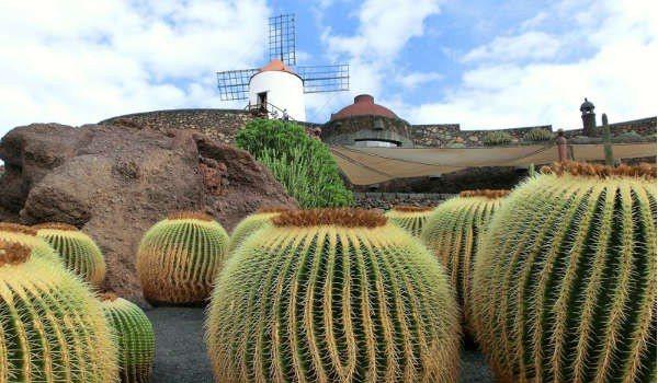 Lanzarote large cactus